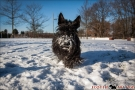 Scottish Terrier Winter 2012/2013