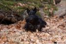 scottish-terrier_herbst_5566
