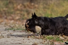 Scottish Terrier Herbst 2011