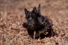 scottish-terrier_herbst_6154