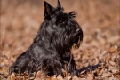 scottish-terrier_herbst_6200
