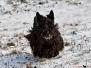 Scottish Terrier Winter 2012