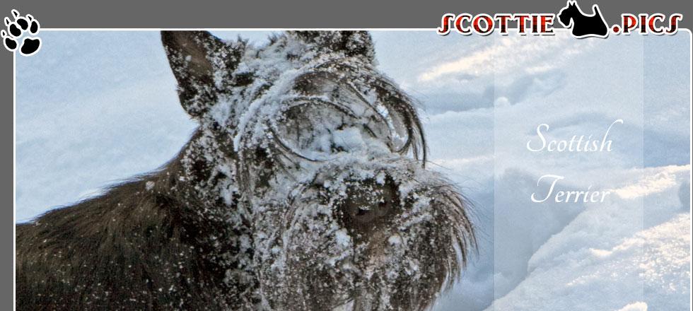 Scottish Terrier Winter Fotos