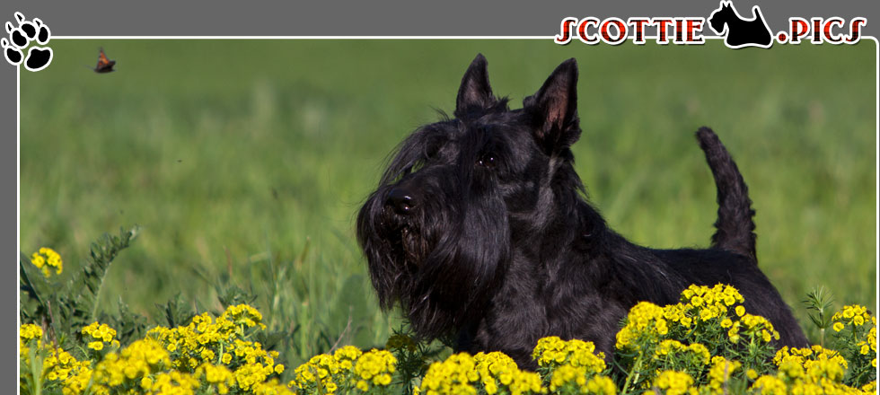 Scottish Terrier Fotos Frühling 2012